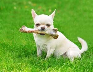 Der Chihuahua ist ein toller Begleiter und Freund.