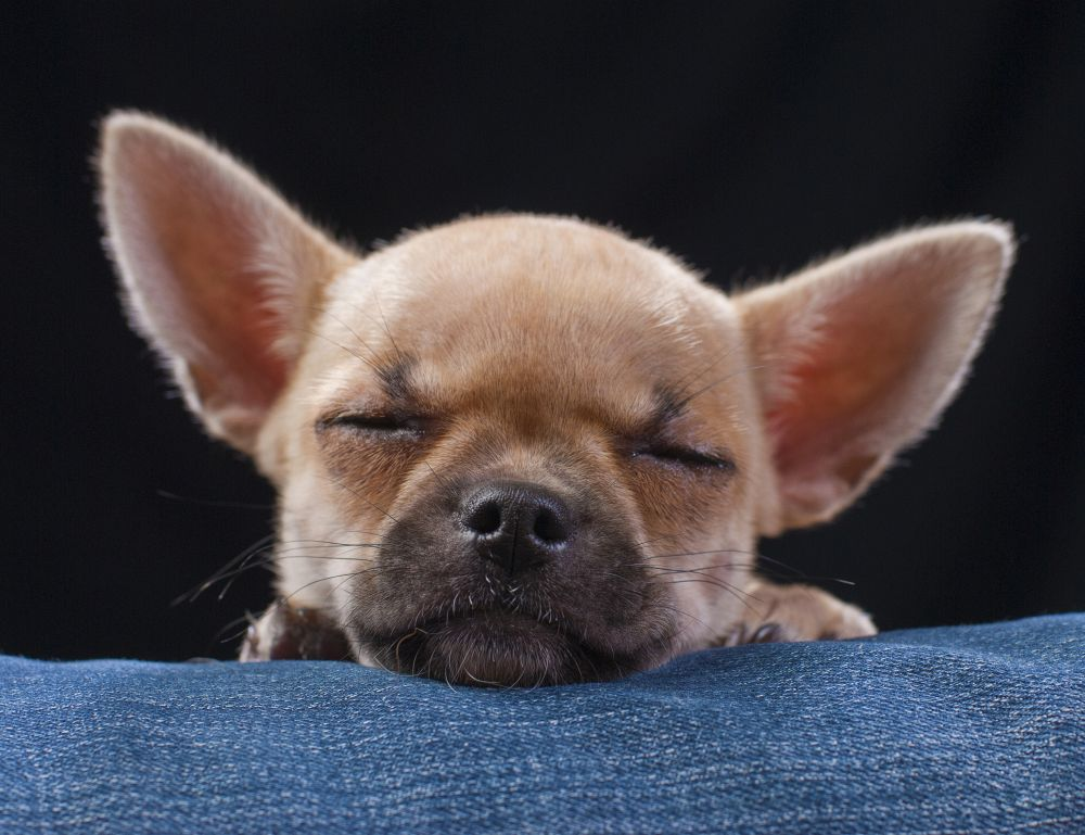 Chihuahua Charakter