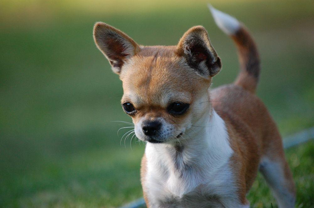 Chihuahua Chihuahuas Machen Glücklich