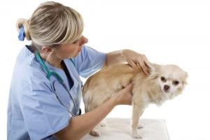 Chihuahua Impfen