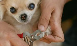 Chihuahua krallen schneiden