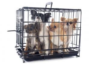 Chihuahua Vermehrer