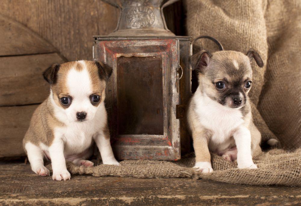 Chihuahua Welpen vom Züchter
