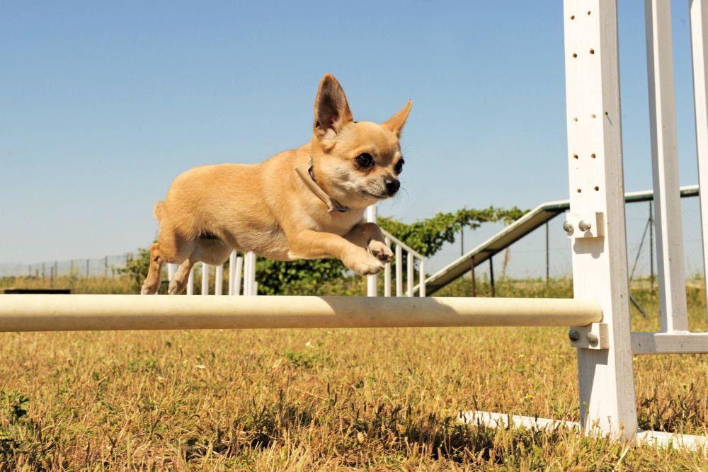 Chihuahua Wesen