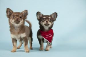 Sozialisierung Chihuahua Züchter