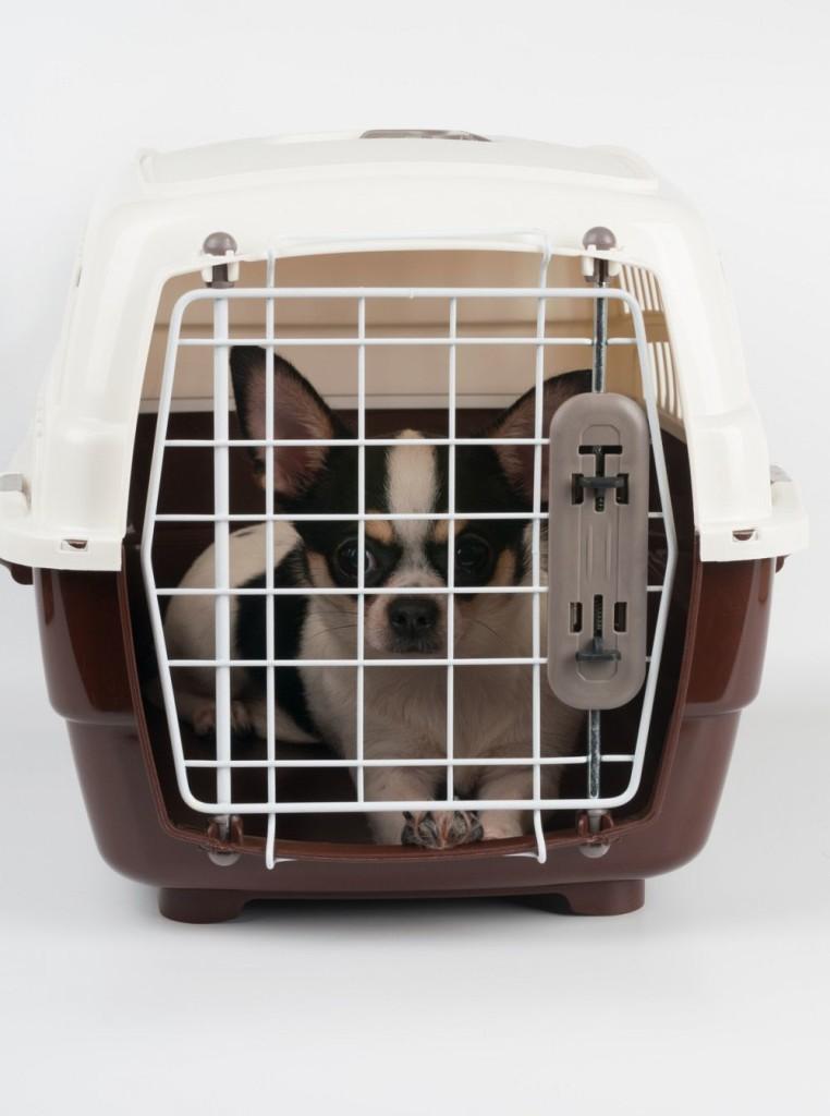 Chihuahua an Hundebox gewöhnen
