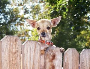 Chihuahua aus dem Tierheim