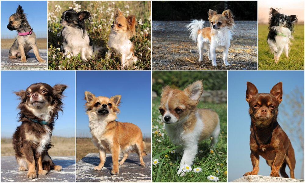 Chihuahuas mit langem und kurzem Fell