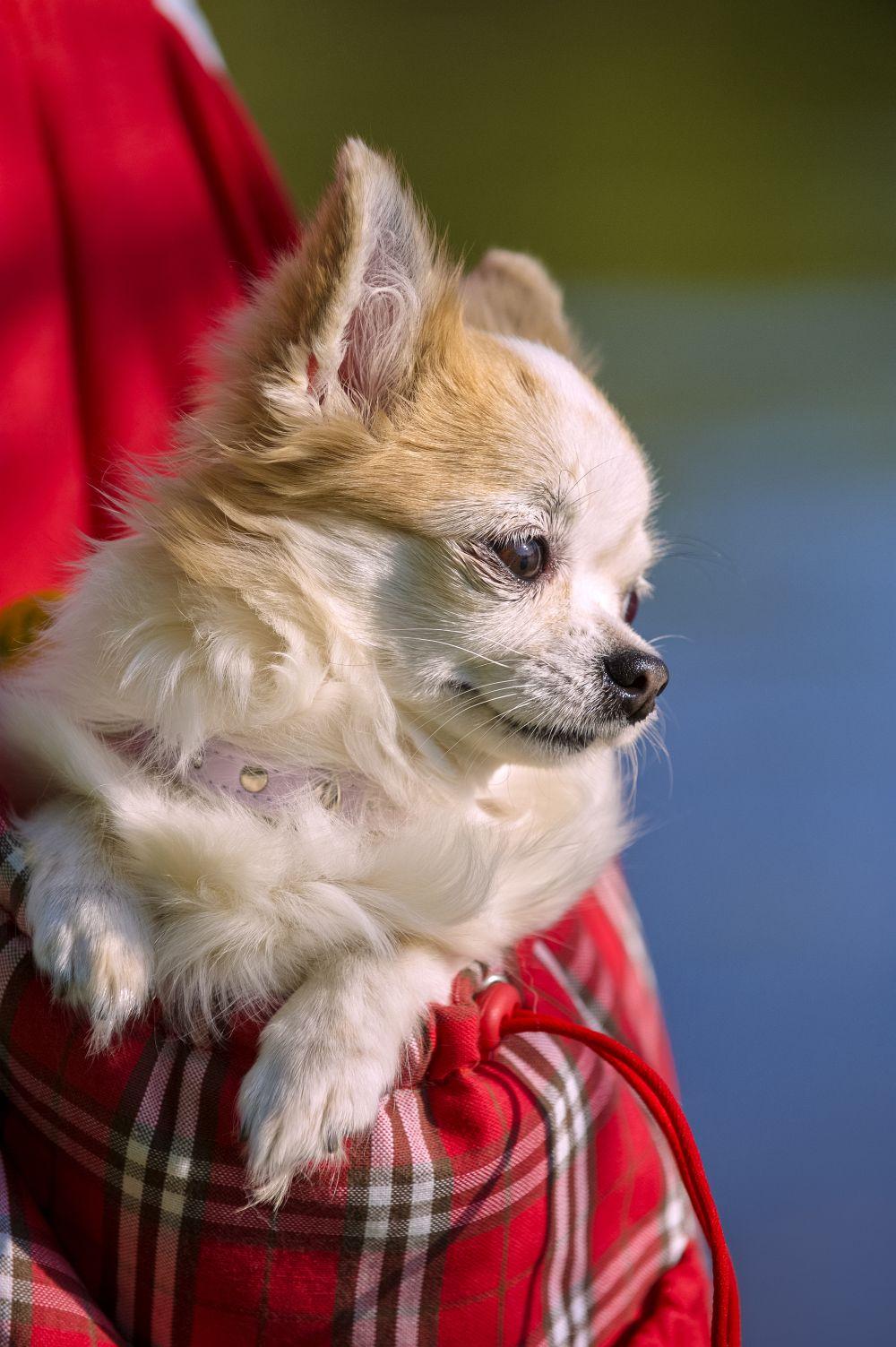 Chihuahua zu verschenken