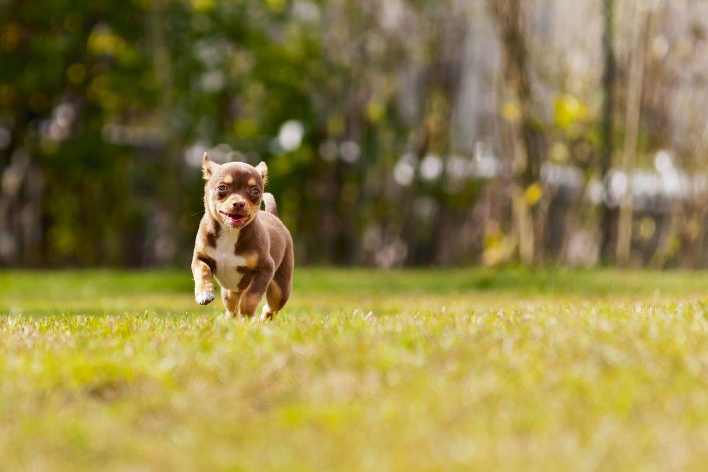Gefahr von Zecken im Wald Chihuahua