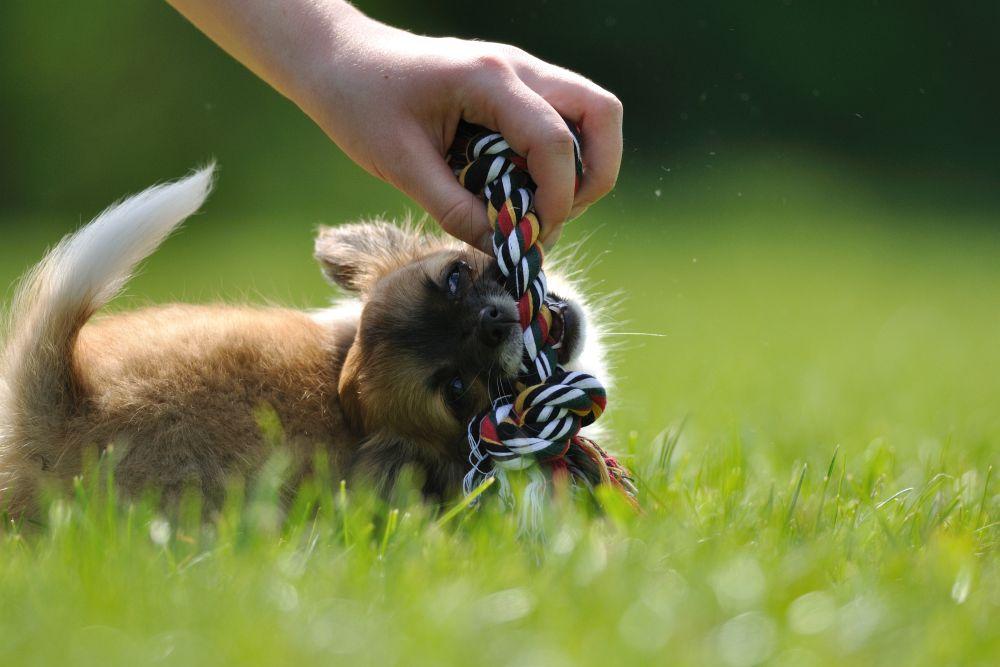 Gesunde Chihuahua Welpen
