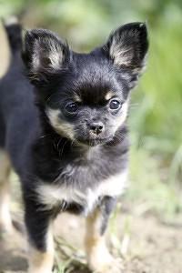 Gesunde Chihuahua Welpen von einem gesunden Chihuahua Deckrüden.