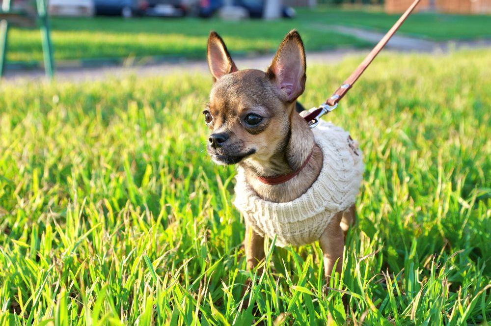 Ein Chihuahua an der Leine.