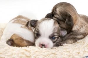 Impfungen Chihuahua im Welpenalter