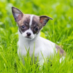 Was kostet ein Chihuahua?