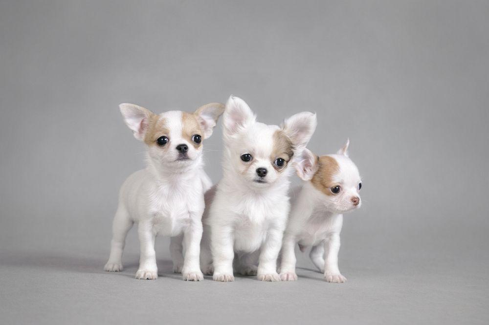 Gesunde Chihuahua Welpen durch einen gesunden Deckrüden