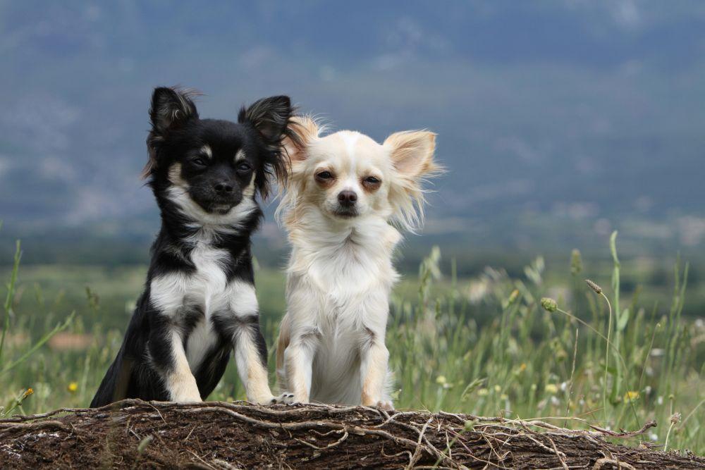 Chihuahua Hündin oder Rüde?