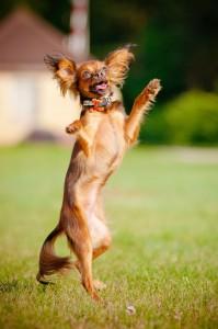 Lebenserwartung Chihuahua