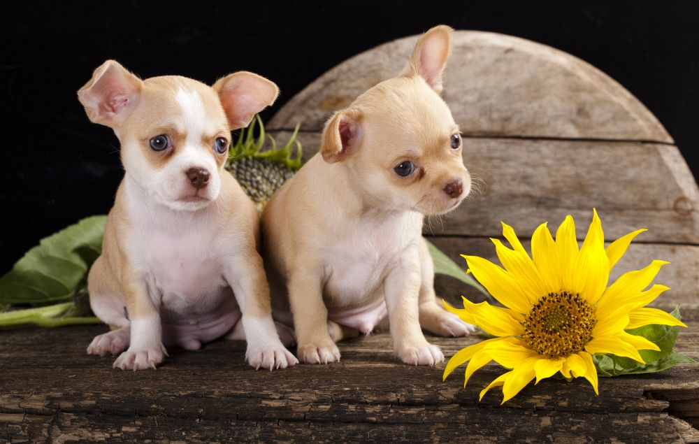 Lebenserwartung Chihuahua Welpen