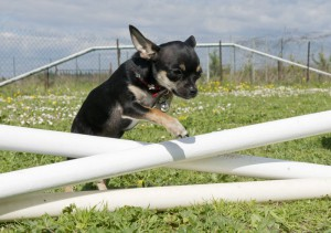 Lebensspanne Chihuahua