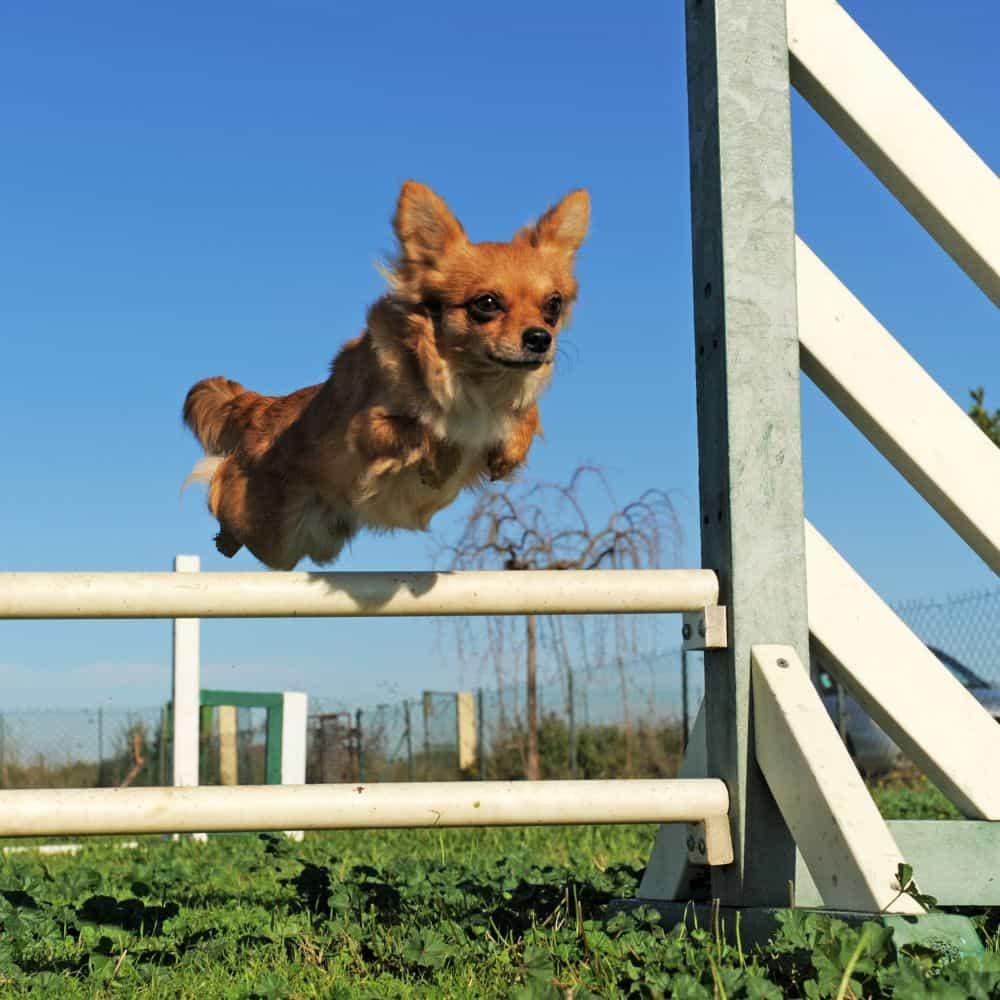 Chihuahua Beschäftigung