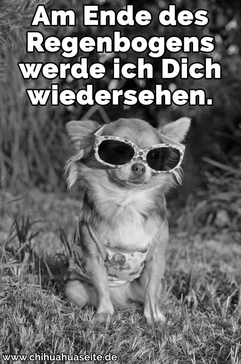 Ein Chihuahua trägt eine Sonnenbrille