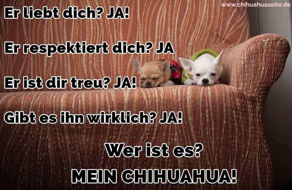Zwei Chihuahua auf dem Sofa liegend