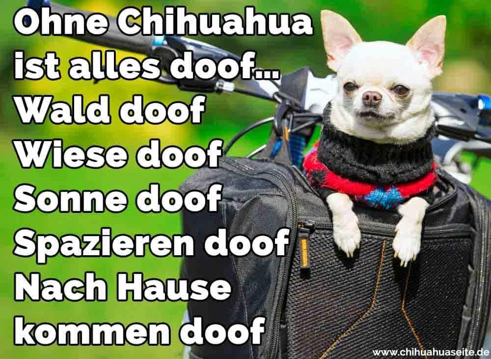 Ein Chihuahua auf dem Fahrrad