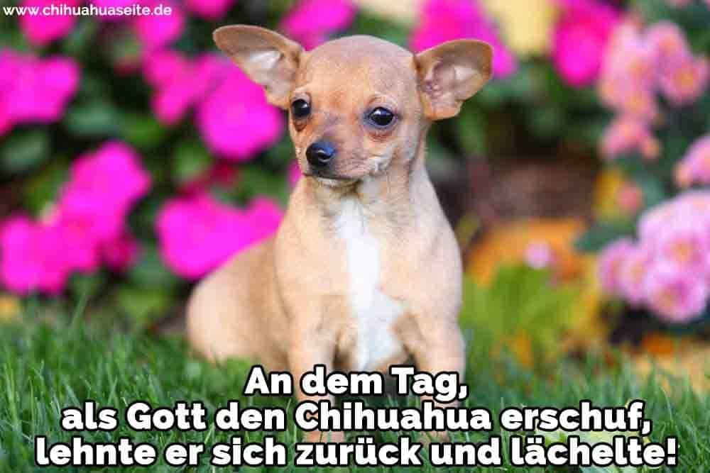 Ein trauriges Chihuahua