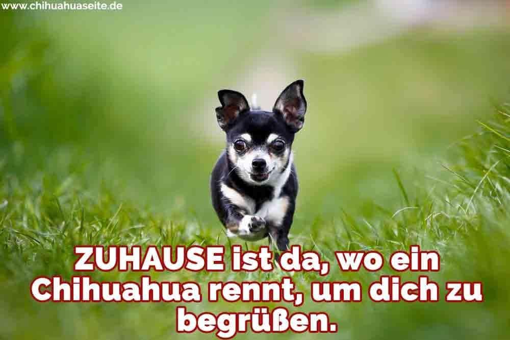 Ein Chihuahua läuft auf Gras