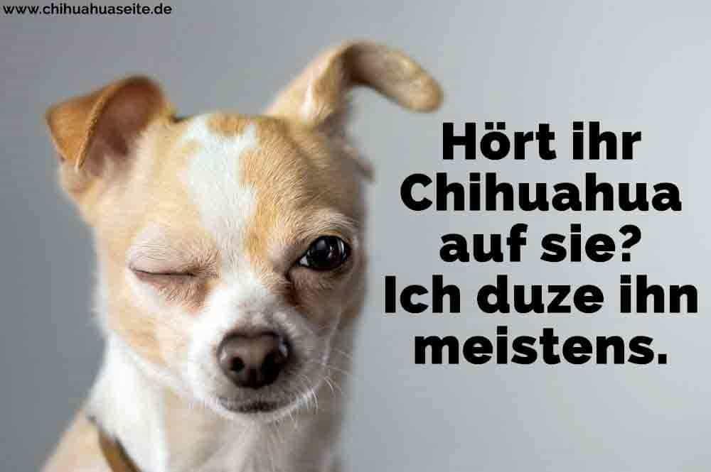 Ein Chihuahua blinkend
