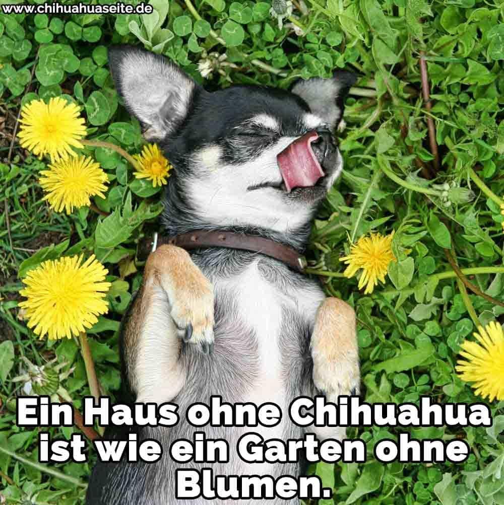 Ein Chihuahua in Blumen liegen