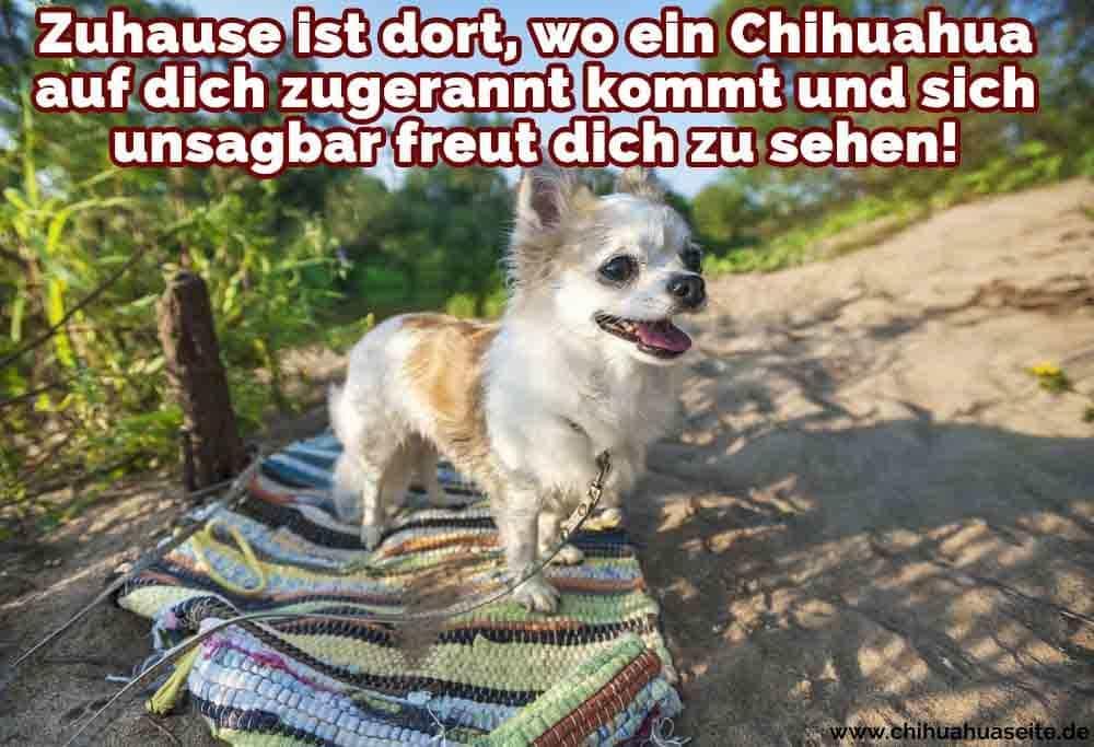 Ein Chihuahua am Strand