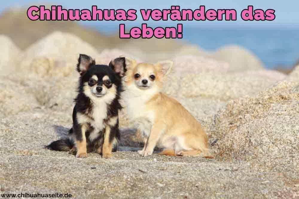 Zwei Chihuahuas am Strand
