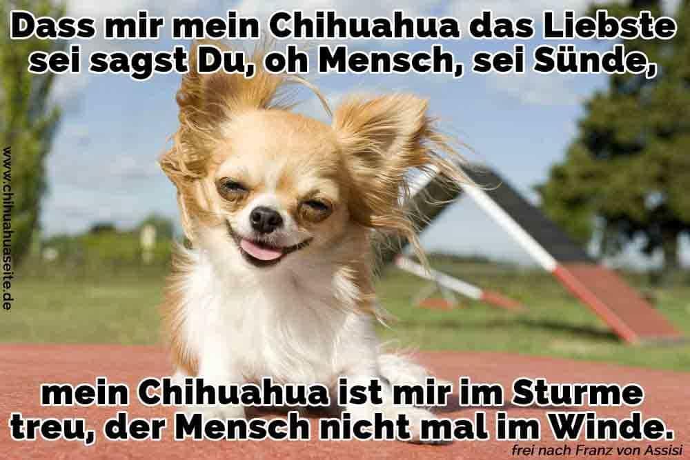 Ein Chihuahua nimmt Wind