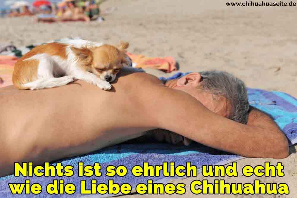 Ein Chihuahua schlafend auf der Rückseite seines Besitzers am Strand