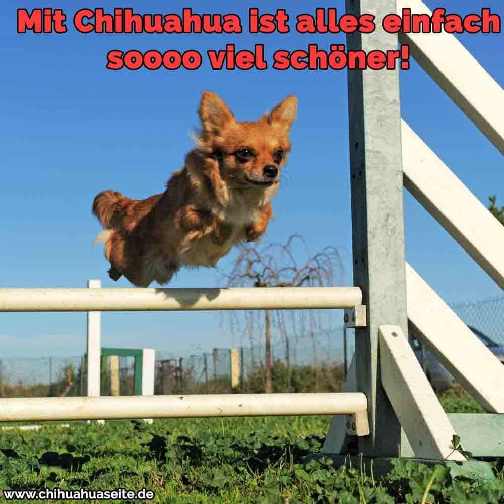 Ein Chihuahua springen Hindernis
