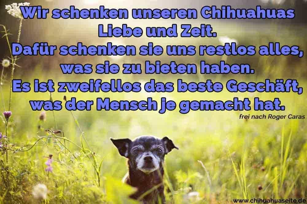 Ein Chihuahua im Garten