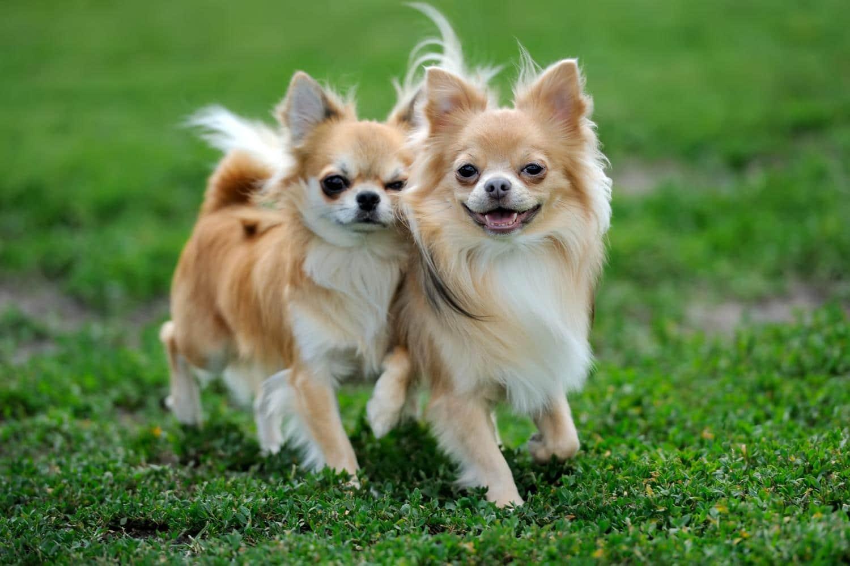 Zwei Langhaar Chihuahua auf der Wiese.