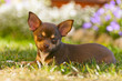 Young chihuahua with a beautiful bokeh of colorful flowers