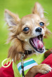 funny Chihuahua puppy yawning with open mouth