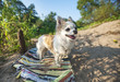 happy Chihuahua dog on sunny summer background