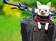 happy chihuahua in bicycle basket